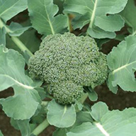 wellness broccoli 2x2