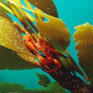 wellness kelp 2x2